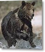 Wet Grizzly Bear Running In Stream Metal Print