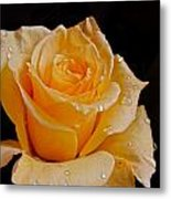 Wet Yellow Rose Metal Print