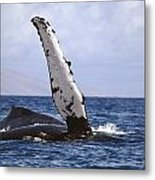 Whale Fin Above Water Metal Print