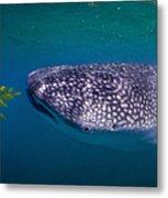 Whale Shark Feeding On Fish, La Paz Metal Print