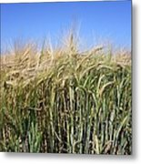 Wheat Field (triticum Sp.) Metal Print