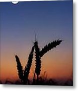 Wheat, Harvest Moon Metal Print