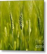 Wheat On The Field Metal Print