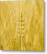 Wheat Metal Print by Paul Rapson