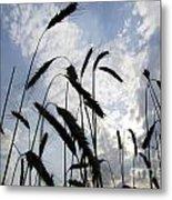 Wheat With Blue Sky Metal Print