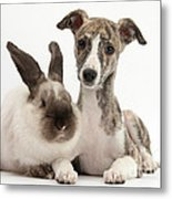 Whippet Pup With Colorpoint Rabbit Metal Print