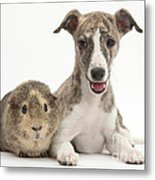 Whippet Pup With Guinea Pig Metal Print