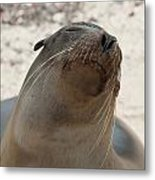 Whiskers On The Face Of A Fur Seal Metal Print