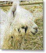 White Alpaca Photograph Metal Print