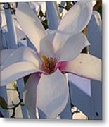 White And Pink Magnolia Metal Print