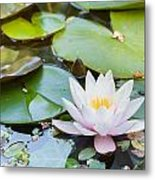 White And Pink Water Lily Metal Print