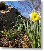 White And Yellow Daffodil Flower Metal Print