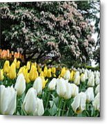 White And Yellow Tulips Metal Print