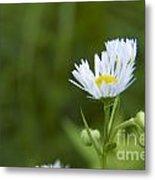 White Aster Wildflower Metal Print