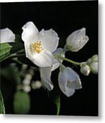 White Blossoms Metal Print