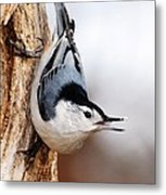 White-breasted Nuthatch 3 Metal Print