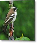 White-browed Sparrow-weaver Metal Print