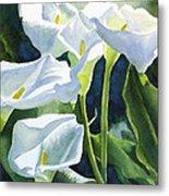 White Calla Lilies Metal Print by Sharon Freeman