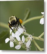 White Crownbeard Wildflowers Pollinated By A Bumble Bee With His Bags Packed Metal Print