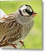 White Crowned Sparrow II Metal Print
