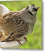 White Crowned Sparrow Sends A Warning Metal Print