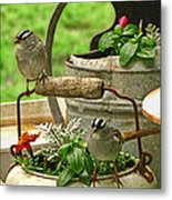 White Crowned Sparrows On The Flower Pot  Metal Print