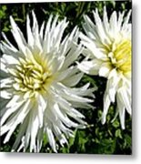 White Dahlias In Autumn  Metal Print