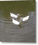 White Ducks Swimming Metal Print
