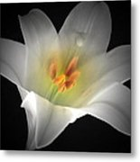 White Easter Lily Metal Print