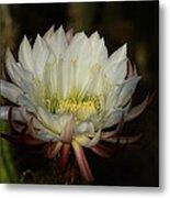 White Echinopsis  Metal Print