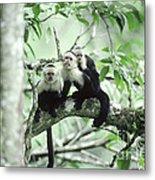 White-faced Capuchins Metal Print