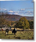 White Faced Cattle In Autumn Metal Print