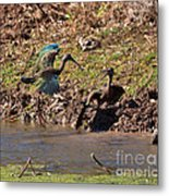 White-faced Ibis Mating Behavior In Early Spring Metal Print