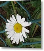 White Flower On The Fence Metal Print
