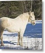 White Horse In Winter Maine Metal Print