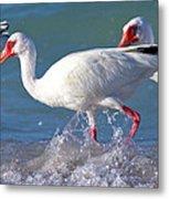 White Ibis On The Shore Metal Print