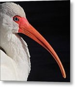 White Ibis Portrait Metal Print