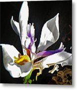 White Iris  Metal Print by Daniele Smith