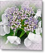 White Lace Cap Hydrangea Blossoms Metal Print