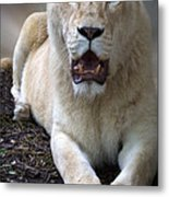 White Lioness Metal Print by Elizabeth Hart