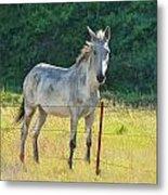 White Mule No.5007 Metal Print