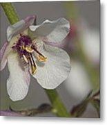 White Mullein - Verbascum Lychnitis Wildflower Metal Print