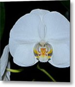 White Orchids 006 Metal Print
