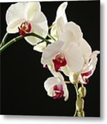 White Orchids Metal Print