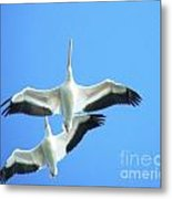 White Pelicans In Flight Metal Print