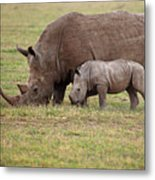 White Rhinocero Grazing Side By Side Metal Print
