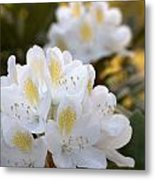 White Rhododendron Bloom Metal Print