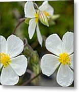 White Rock-rose (helianthemum Apenninum) Metal Print