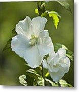 White Rose Of Sharon Metal Print by Teresa Mucha