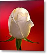 White Rose Red And Black Bg Metal Print